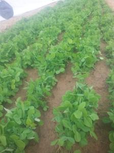 Pea shoots in soil